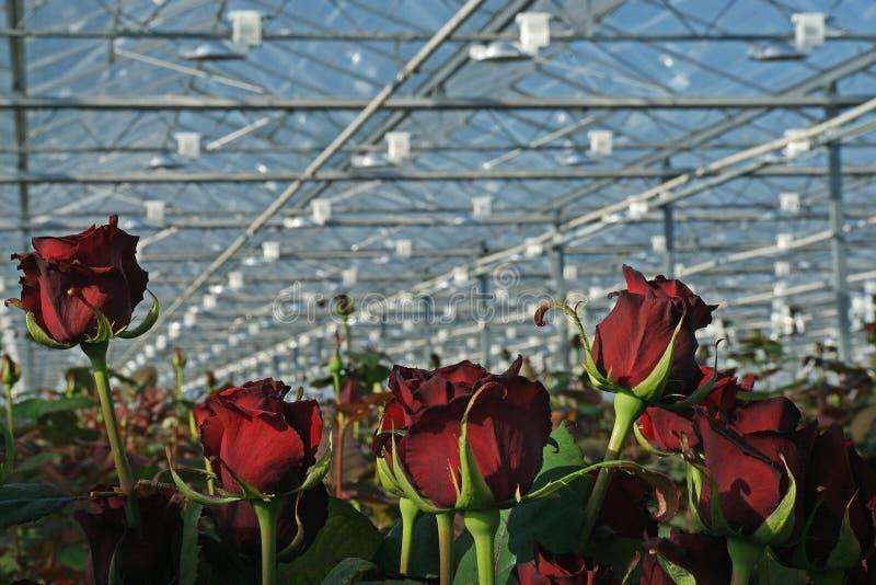 De rode rozen groeien in moderne Nederlandse serre stock afbeelding