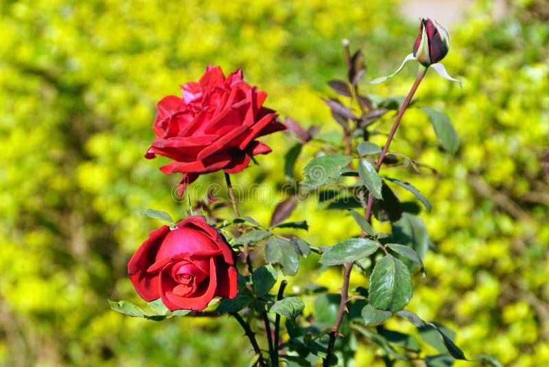 De rode rozenbloem stock afbeelding