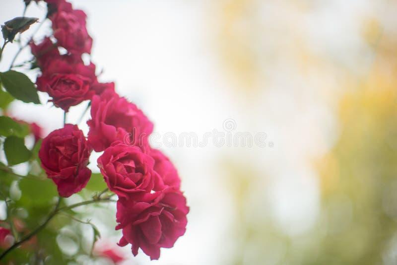 De rode rozenstruik groeit in de zomertuin stock fotografie