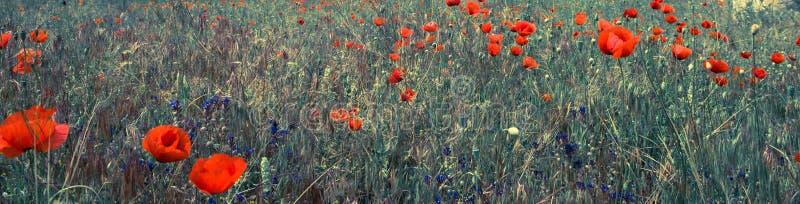 De rode scène van het papavergebied stock afbeelding
