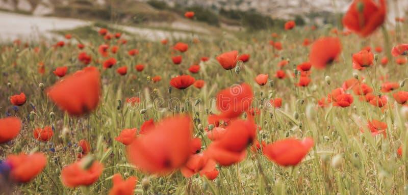 De rode scène van het papavergebied royalty-vrije stock fotografie