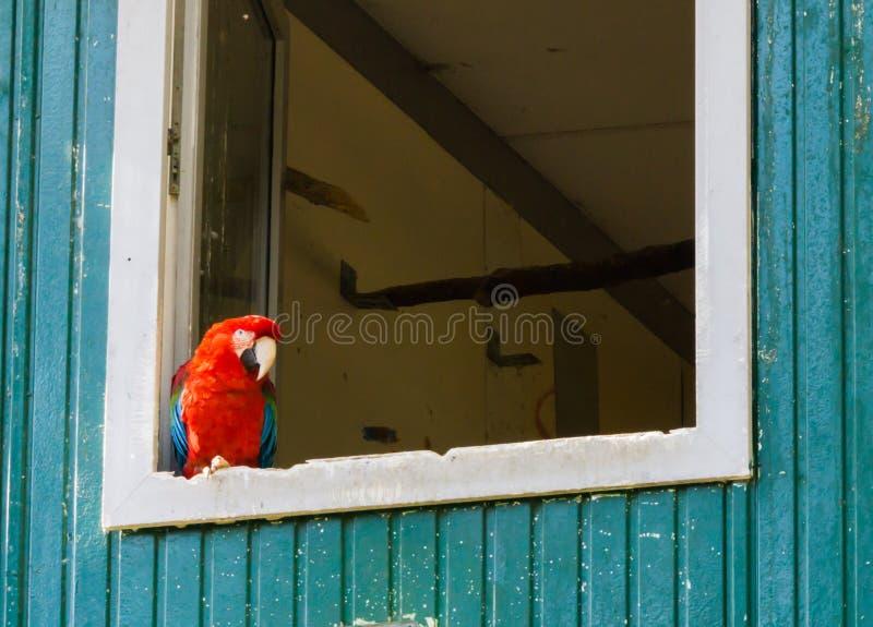 De rode scharlaken zitting van de arapapegaai in de hoek van het venster en rond het kijken stock foto