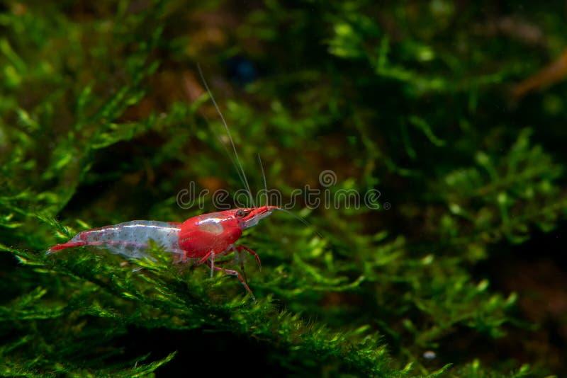 De rode sushi dwerggarnalen blijven op groene aquatische installatie in de tank van het zoet wateraquarium stock afbeeldingen
