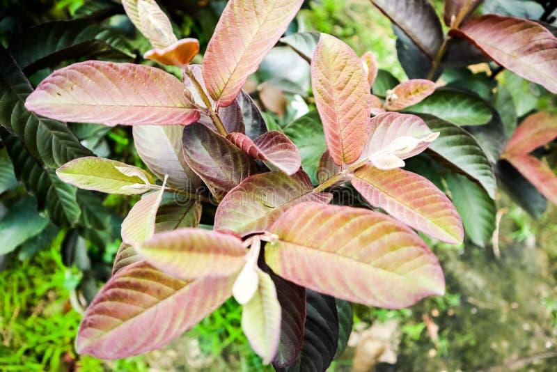 De rode tak van de het bladguave van het Guaveblad Rode met rood blad royalty-vrije stock afbeelding