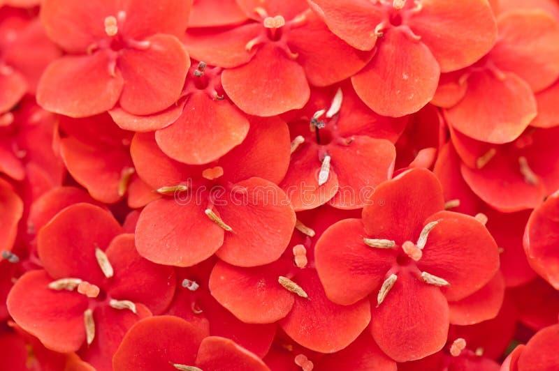 De rode textuur van het bloembloemblaadje royalty-vrije stock foto