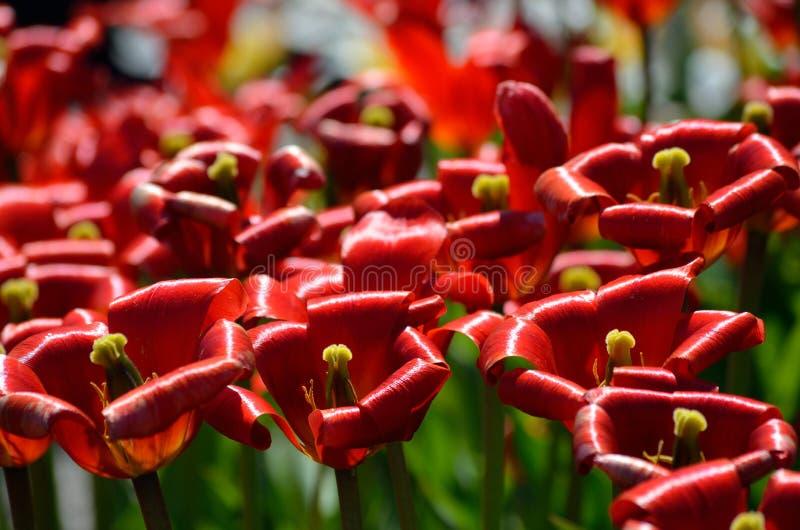 De rode trillende bloemen van tulipapraestaus in de zomerzonneschijn, kennen ook als unicum stock foto's