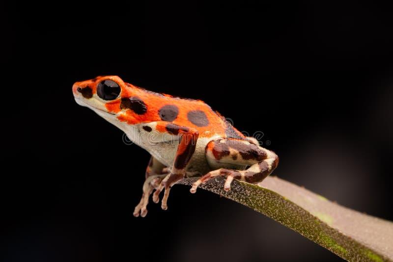 De rode tropische kikker van het vergiftpijltje royalty-vrije stock foto's