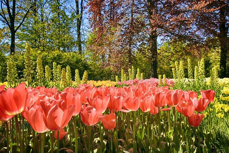 De rode tulpen bloeiden in de lente royalty-vrije stock afbeelding