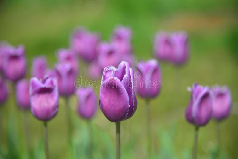 De rode tulpen en het groene gras royalty-vrije illustratie