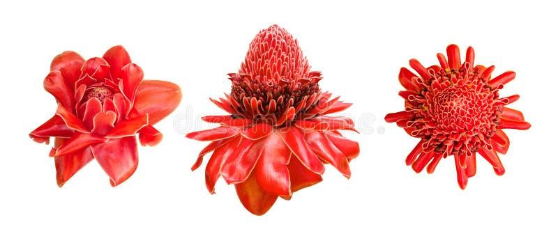De rode van de bloemetlingera van de gemberlelie reeks van de elatior tropische die installatie op witte achtergrond, weg wordt g royalty-vrije stock fotografie