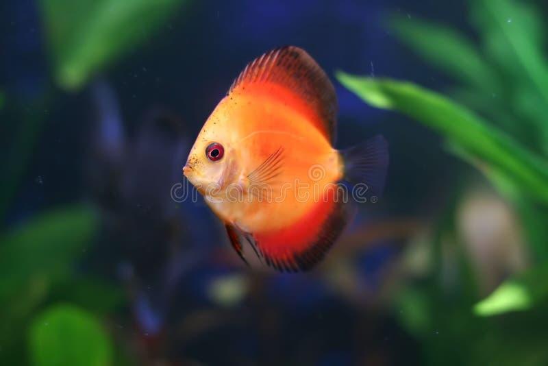De rode vissen van de Discus in tank stock afbeelding