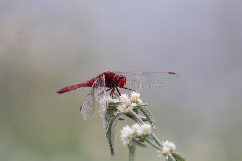 De rode Vlieg van de Draak stock fotografie