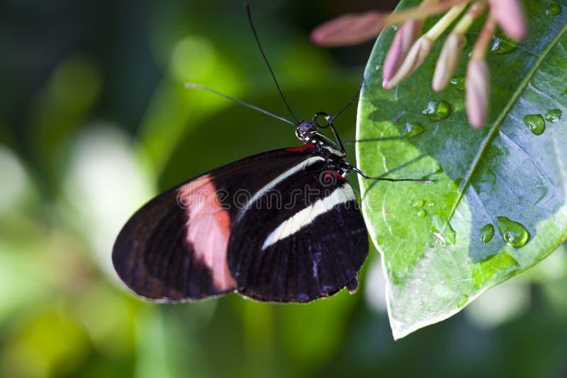 De rode Vlinder van de Brievenbesteller royalty-vrije stock afbeeldingen