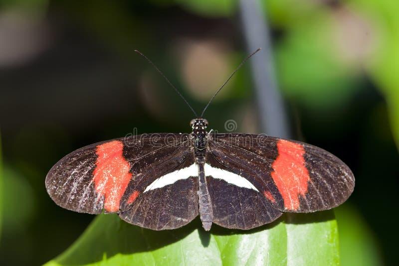 De rode Vlinder van de Brievenbesteller royalty-vrije stock foto's