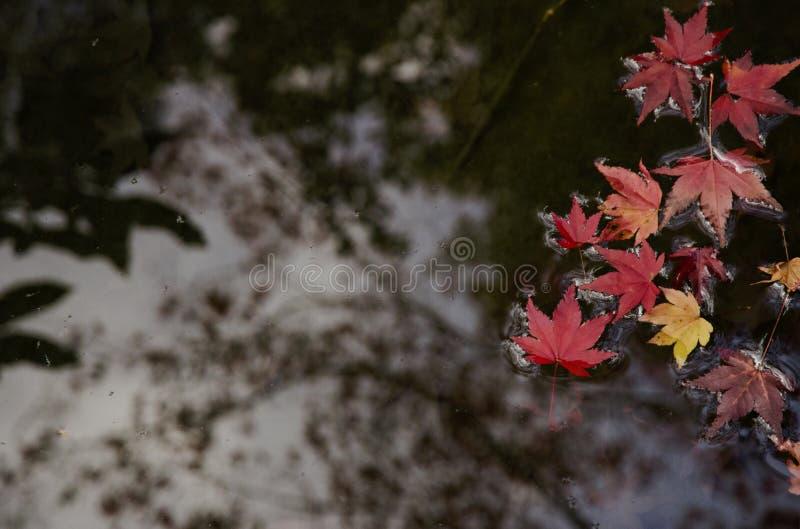 De rode vlotter van esdoornbladeren in duidelijk water stock afbeelding
