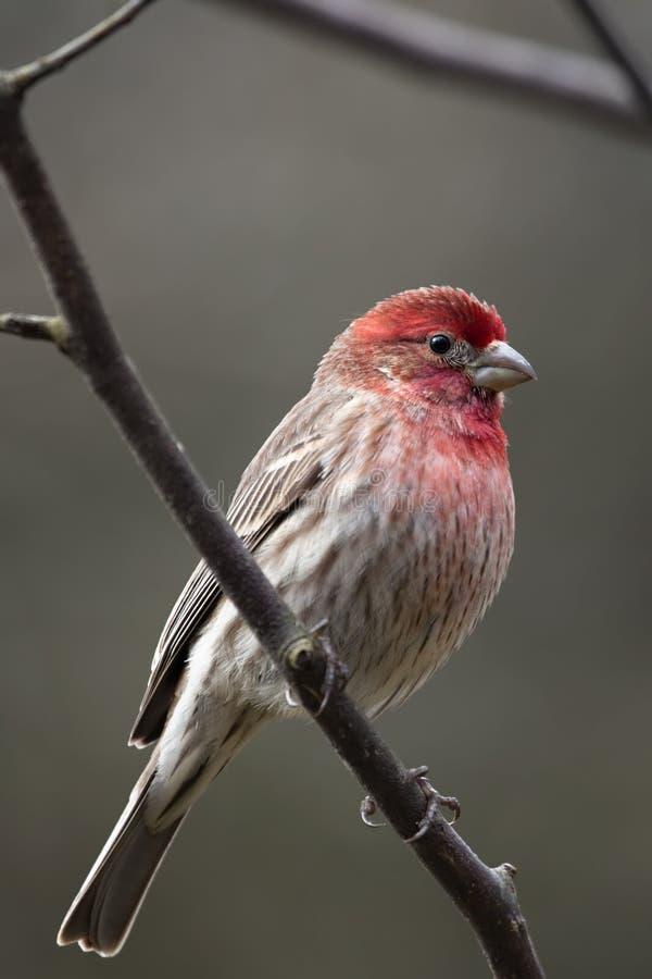 De rode vogel van de Vink van het Huis stock foto