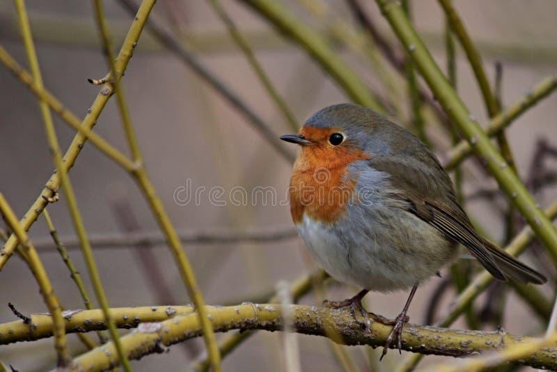 De rode vogel van Robin op een tak stock foto's