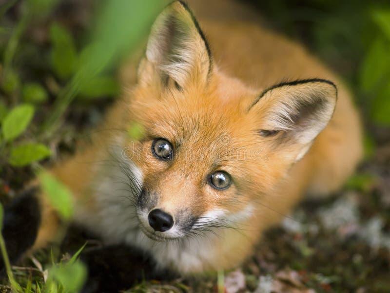De rode vos C van het zoogdier stock fotografie