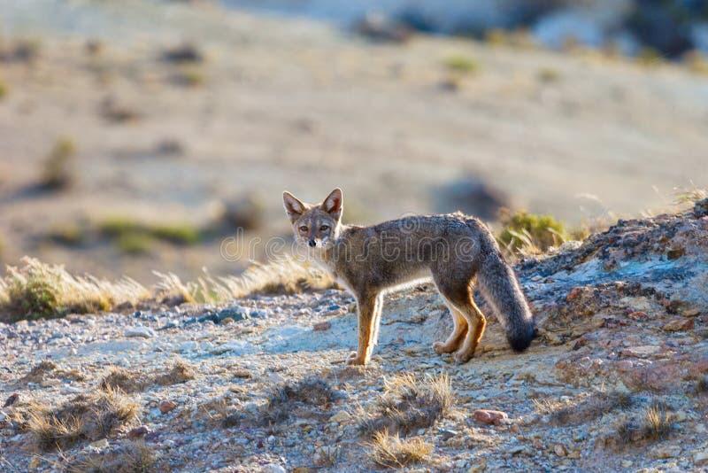 De rode vos (Lycalopex-culpaeus), Patagonië, Argentinië stock afbeeldingen