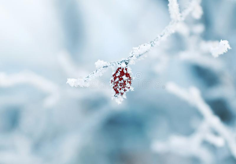 De rode vruchten van de rozebottelinstallatie zijn behandeld met stekelige ijskegels F royalty-vrije stock afbeeldingen
