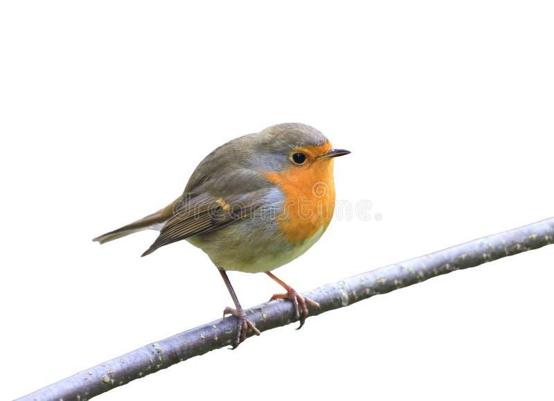 De rode zitting van vogelrobin op een tak in het Park op een wit isoleerde achtergrond stock foto's
