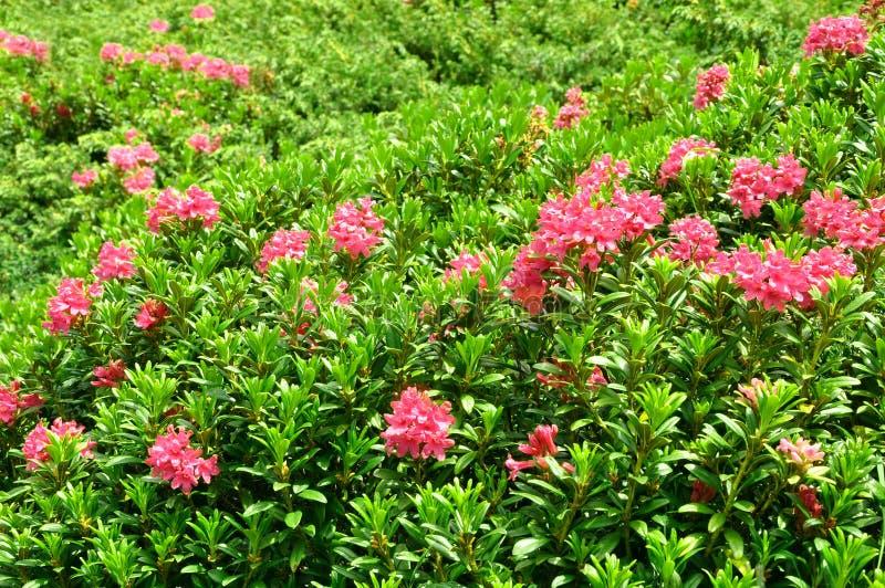 De Rododendron van de azalea royalty-vrije stock fotografie