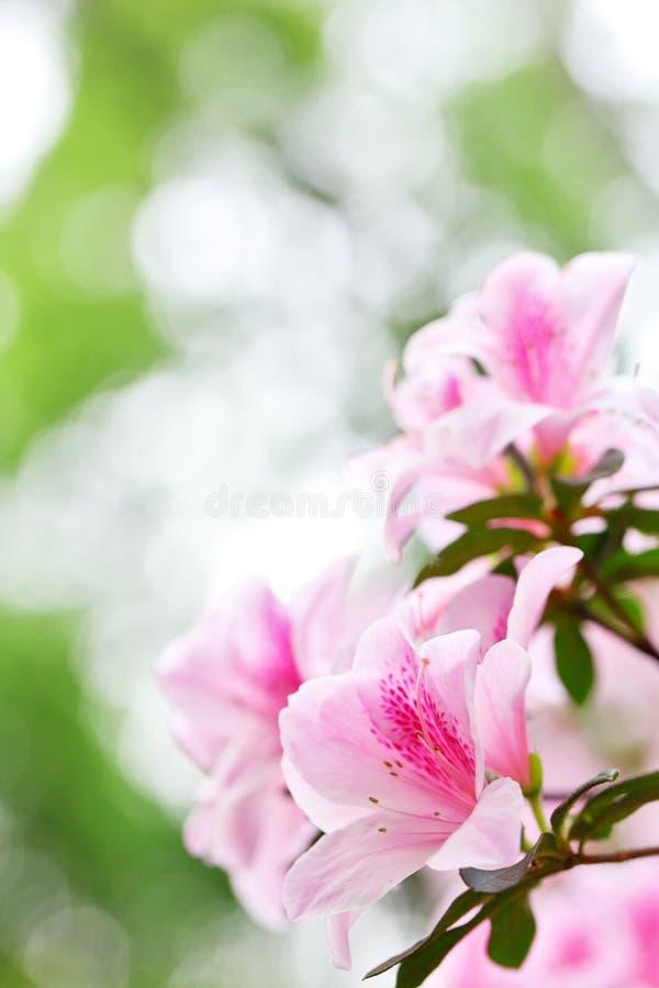 De Rododendron van de azalea royalty-vrije stock afbeeldingen