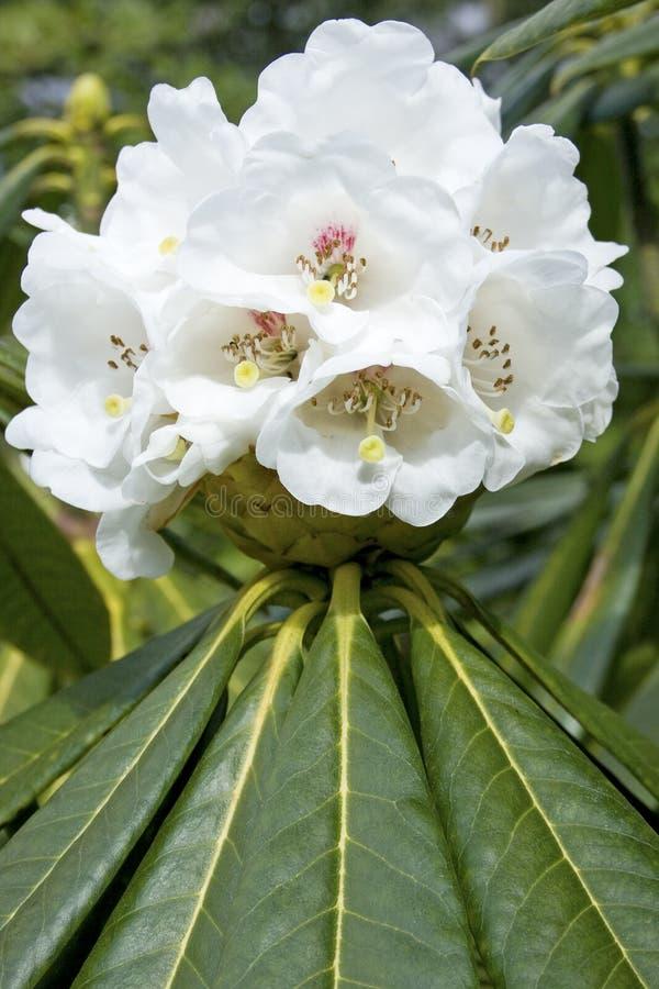 De rododendron van de bloem stock afbeelding
