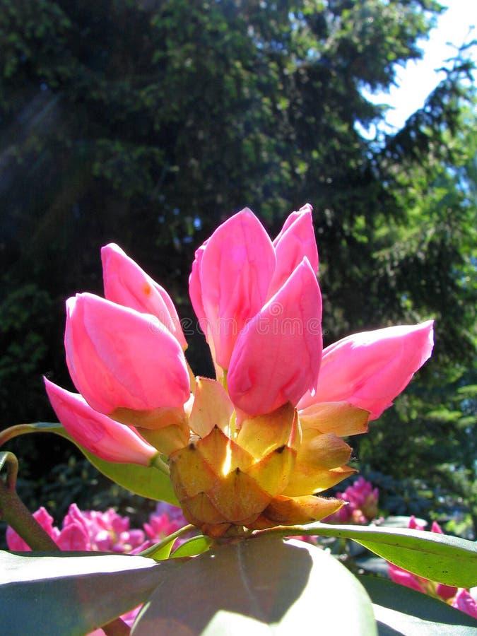 De rododendron van knoppen royalty-vrije stock afbeelding