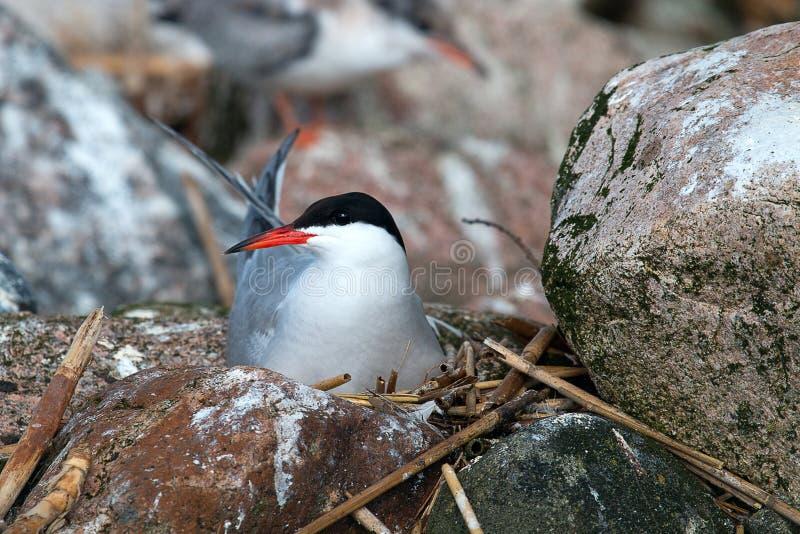 De roer (Sterna hirundo) zit op het nest stock afbeeldingen