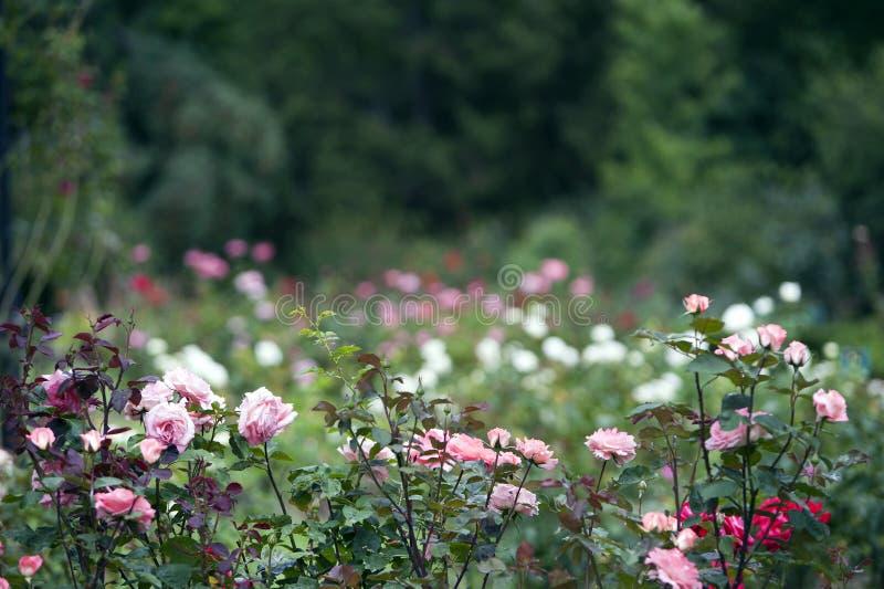 De romantische tuin met rozeachtige wit nam op vage achtergrond toe stock fotografie