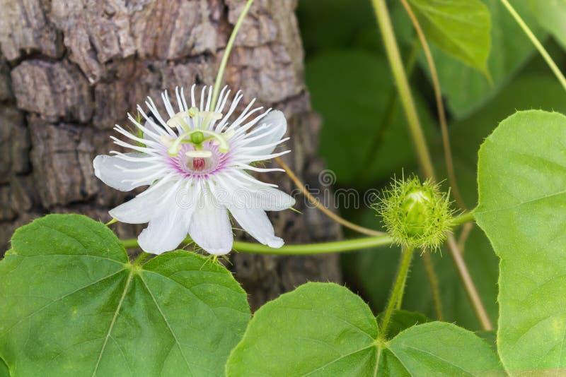 De romantische verbazende bloem van het aard bizarre wilde gras, Passiebloem met royalty-vrije stock foto's