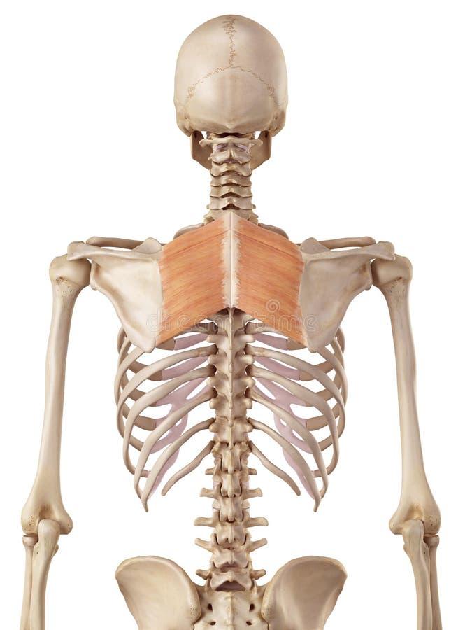 De romboïdale spieren stock illustratie