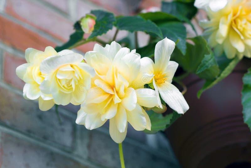 De romig witte Begonia van bloemeninstallaties royalty-vrije stock afbeeldingen