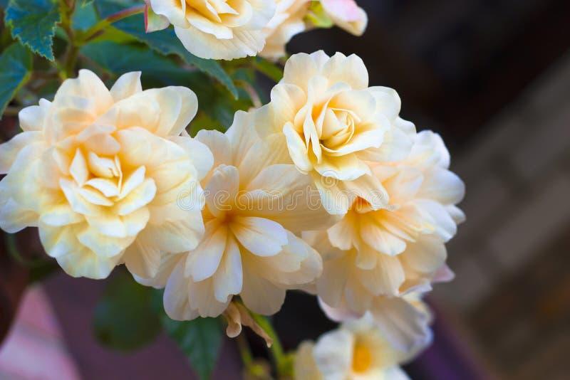 De romig witte Begonia van bloemeninstallaties stock foto's