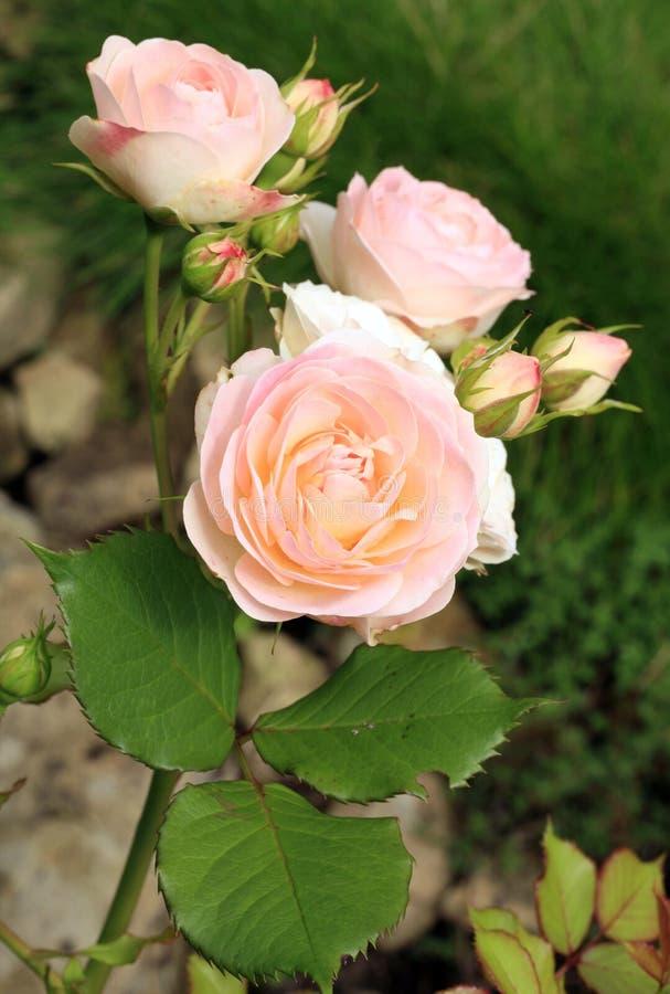 De romige kleurenbloem Gruss Aken nam ook geroepen Willow Glen toe royalty-vrije stock afbeelding