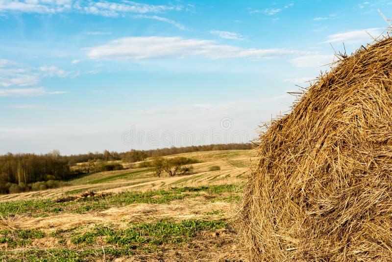 De ronde strobaal na het oogsten tegen de achtergrond van het gebied en het bos, de herfstavond stock afbeelding