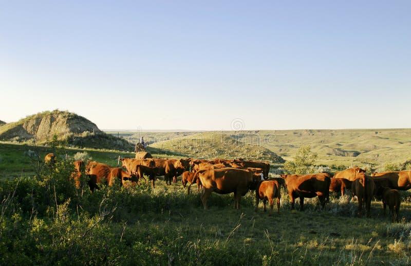 De Ronde van het vee omhoog stock foto's