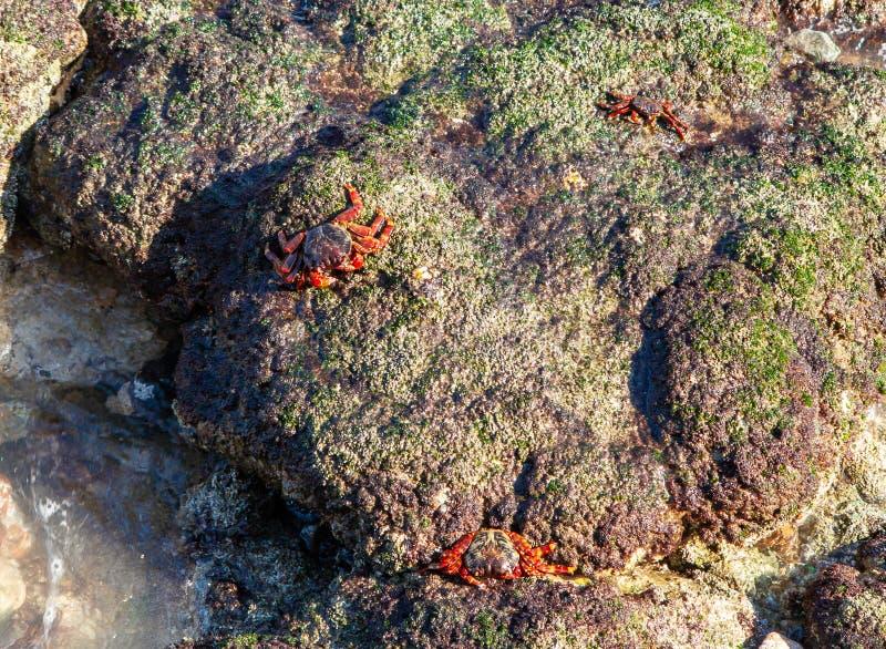 De rood-betaalde krabben lopen op stenen op de kust van de Golf van Oman royalty-vrije stock afbeelding