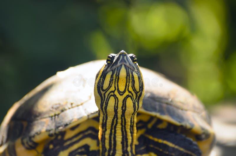 De rood-eared close-up van de schuifschildpad royalty-vrije stock afbeelding