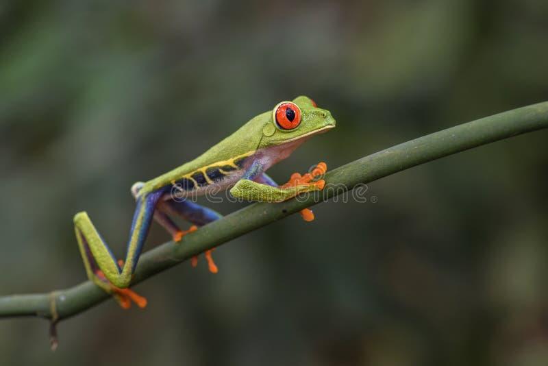 Download De Rood-eyed Kikker Van De Boom - Callidryas Agalychnis Stock Afbeelding - Afbeelding bestaande uit fauna, eyed: 114225161