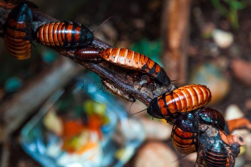 De roodbruine grote kakkerlakken van Madagascar royalty-vrije stock afbeeldingen