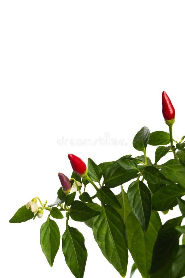 De roodgloeiende die peper van de huisinstallatie in bloempot op witte achtergrond wordt ge?soleerd stock afbeelding