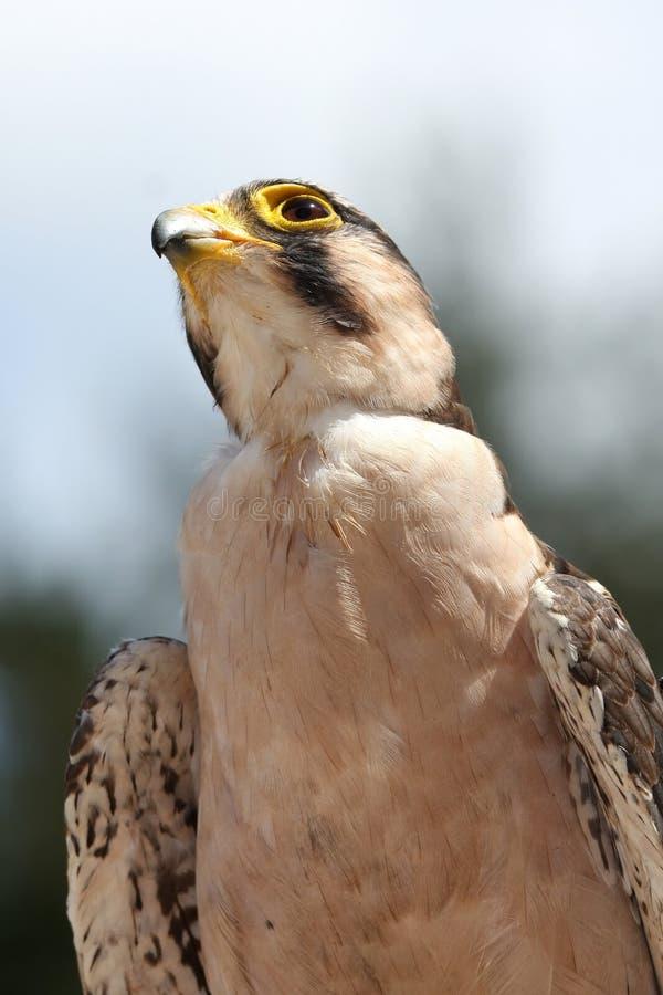 De Roofvogel van de Valk van Lanner royalty-vrije stock foto