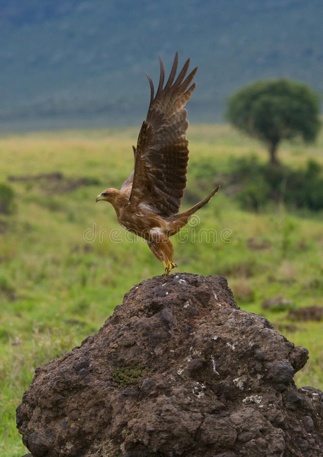 De roofzuchtige vogel stijgt van de grond op kenia tanzania royalty-vrije stock foto's