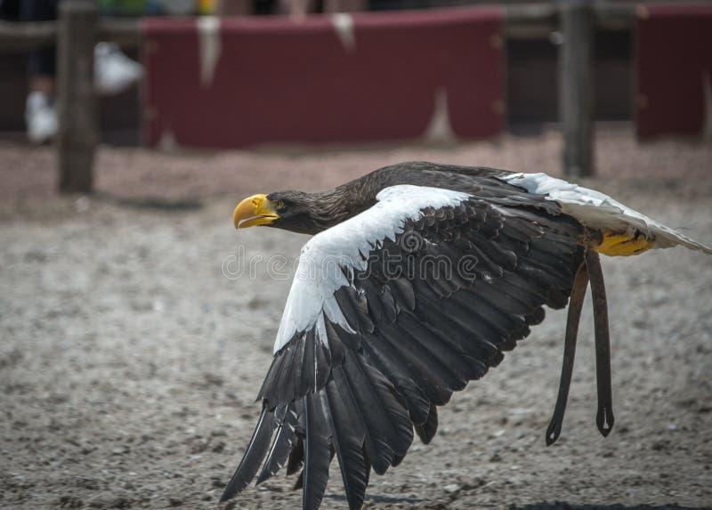 De roofzuchtige wit-de steel verwijderde van adelaar in de zomer bij dierentuin in kleur toont in close-up royalty-vrije stock foto's