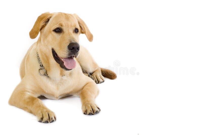 De room van de Labrador van het puppy - copyspace stock foto's