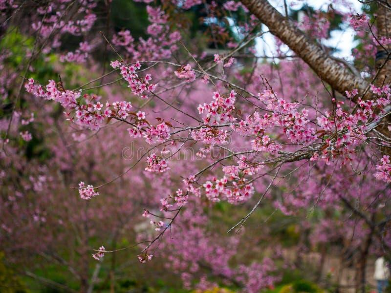 De rosa blomningarna ser likadana Sakura i Thailand kallade Lös Hima arkivbild
