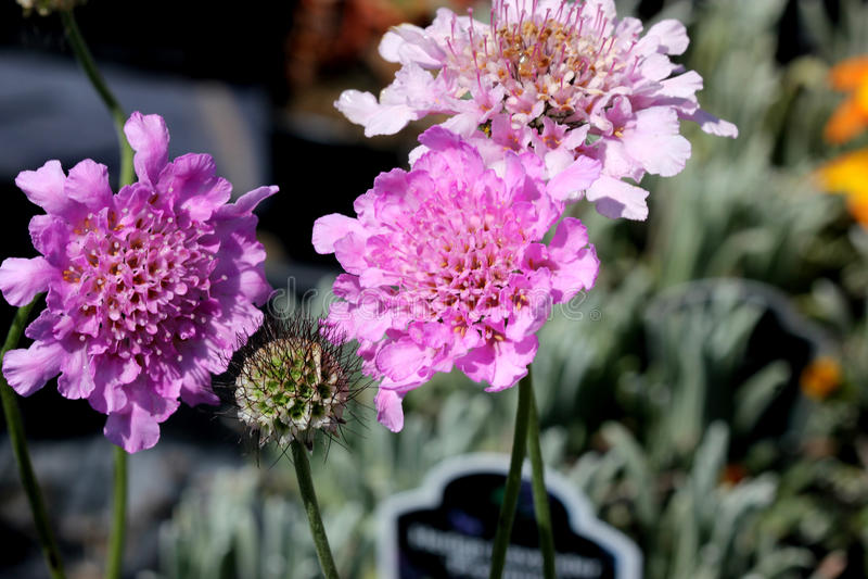 ` De Rose Pink del alboroto del ` del columbaria de Scabiosa foto de archivo