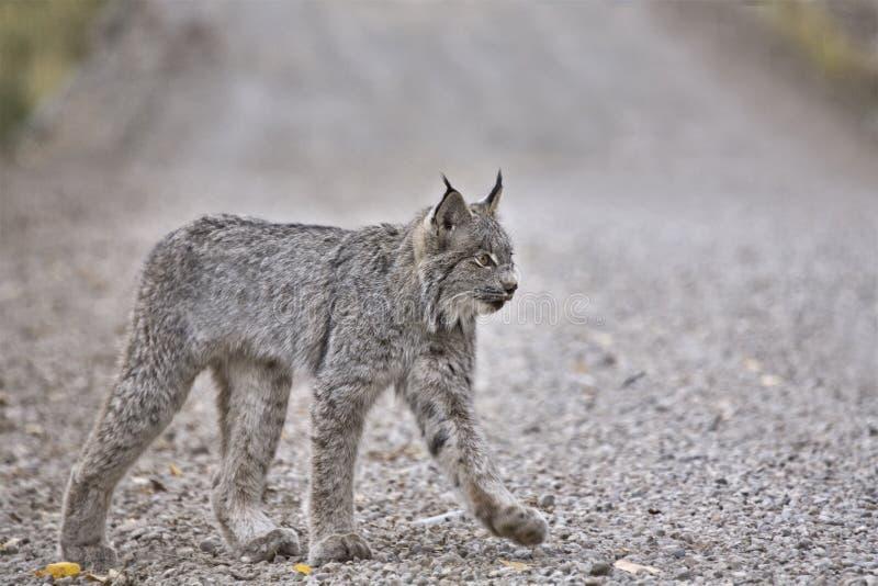 De rotsachtige Lynx van de Berg royalty-vrije stock afbeelding